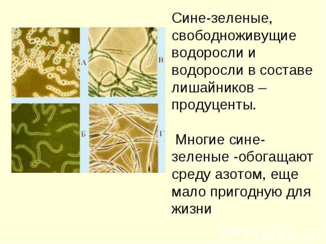 Сине-зеленые,свободноживущие водоросли и водоросли в составе лишайников – продуценты. Многие сине-зеленые -обогащают среду азотом, еще мало пригодную для жизни