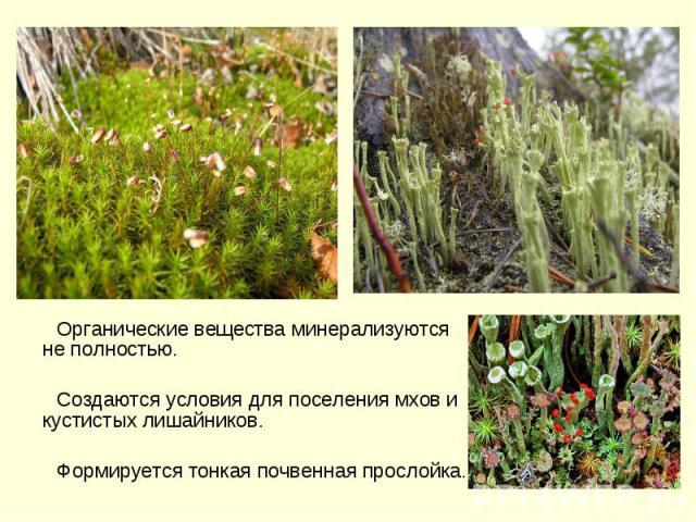 Органические вещества минерализуются не полностью. Создаются условия для поселения мхов и кустистых лишайников. Формируется тонкая почвенная прослойка.