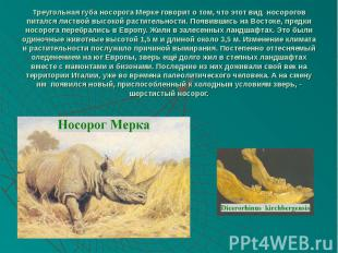 Треугольная губа носорога Мерке говорит о том, что этот вид носорогов питался ли