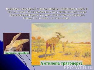 Трагоцерус («козлорог»)- стадное животное, появившееся около 30 млн. лет назад.