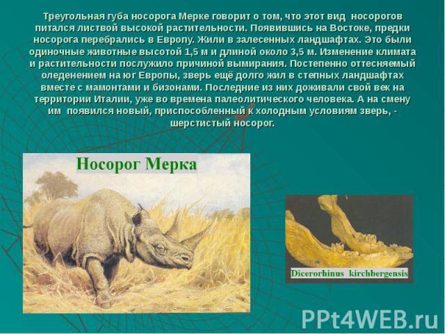 Треугольная губа носорога Мерке говорит о том, что этот вид носорогов питался листвой высокой растительности. Появившись на Востоке, предки носорога перебрались в Европу. Жили в залесенных ландшафтах. Это были одиночные животные высотой 1,5 м и длин…