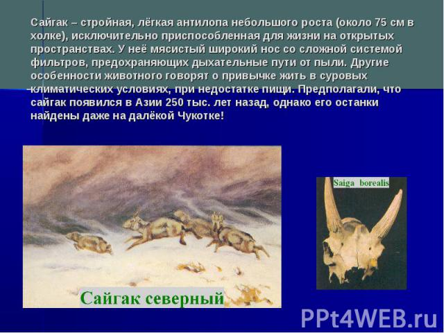 Сайгак – стройная, лёгкая антилопа небольшого роста (около 75 см в холке), исключительно приспособленная для жизни на открытых пространствах. У неё мясистый широкий нос со сложной системой фильтров, предохраняющих дыхательные пути от пыли. Другие ос…