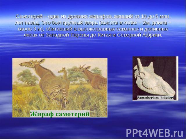 Самотерий – один из древних жирафов, живший от 10 до 5 млн. лет назад. Это был крупный зверь (высота в холке – 2м, длина – около 3 м), обитавший в высокотравных саваннах и долинных лесах от Западной Европы до Китая и Северной Африки.