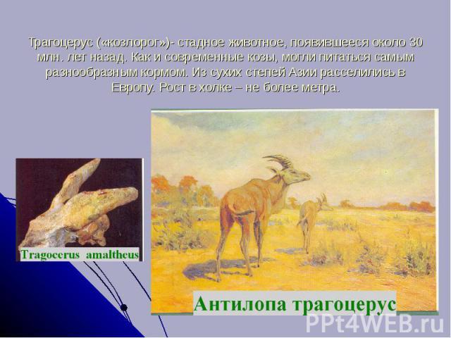 Трагоцерус («козлорог»)- стадное животное, появившееся около 30 млн. лет назад. Как и современные козы, могли питаться самым разнообразным кормом. Из сухих степей Азии расселились в Европу. Рост в холке – не более метра.