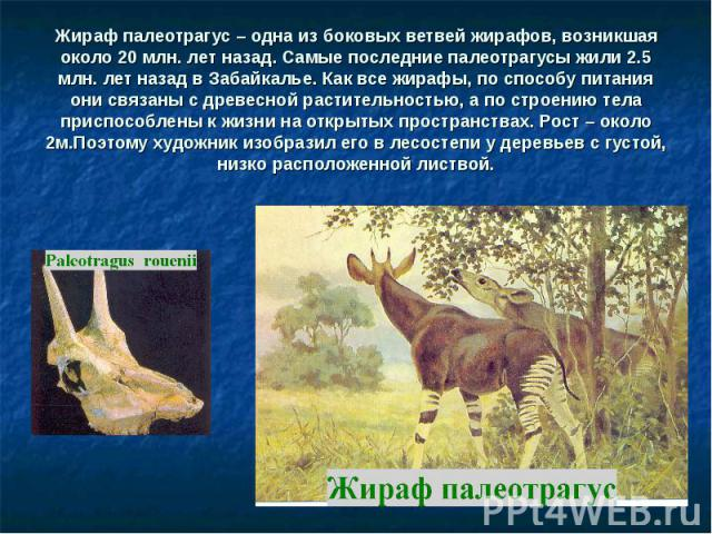Жираф палеотрагус – одна из боковых ветвей жирафов, возникшая около 20 млн. лет назад. Самые последние палеотрагусы жили 2.5 млн. лет назад в Забайкалье. Как все жирафы, по способу питания они связаны с древесной растительностью, а по строению тела …