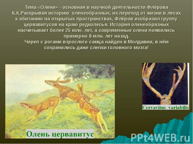 Тема «Олени» - основная в научной деятельности Флёрова К.К.Раскрывая историю оленеобразных, их переход от жизни в лесах к обитанию на открытых пространствах, Флёров изобразил группу цервавитусов на краю редколесья. История оленеобразных насчитывает …