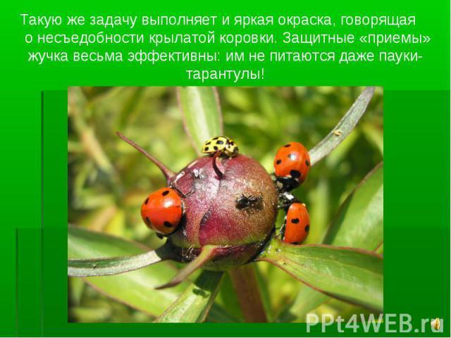 Такую же задачу выполняет и яркая окраска, говорящая о несъедобности крылатой коровки. Защитные «приемы» жучка весьма эффективны: им не питаются даже пауки-тарантулы!
