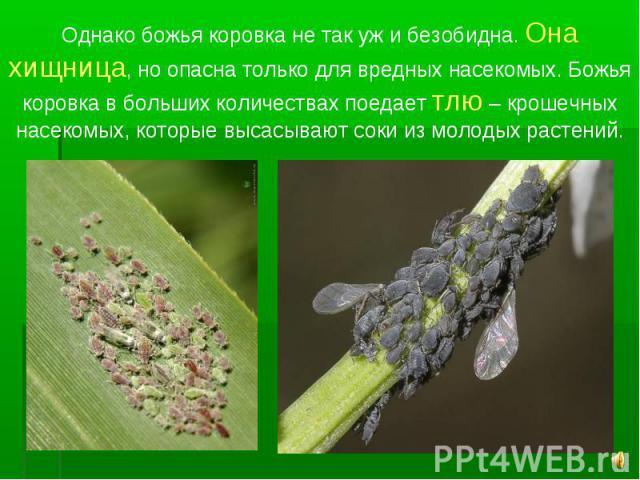 Однако божья коровка не так уж и безобидна. Она хищница, но опасна только для вредных насекомых. Божья коровка в больших количествах поедает тлю – крошечных насекомых, которые высасывают соки из молодых растений.