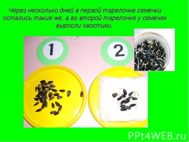 Через несколько дней в первой тарелочке семечки остались такие же, а во второй тарелочке у семечек выросли хвостики.