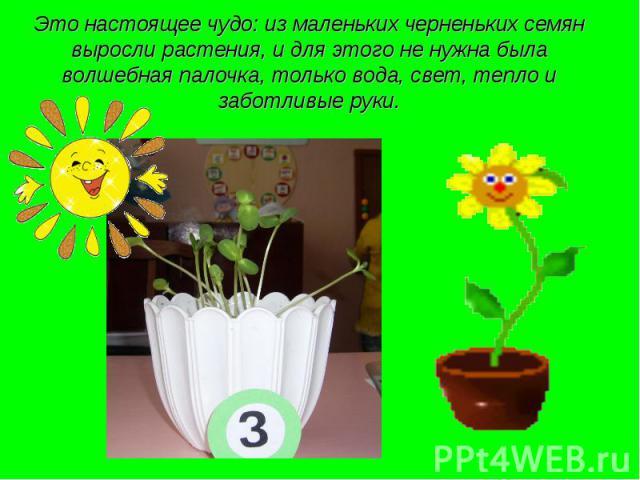 Это настоящее чудо: из маленьких черненьких семян выросли растения, и для этого не нужна была волшебная палочка, только вода, свет, тепло и заботливые руки.