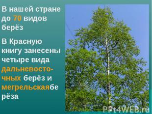 В нашей стране до 70 видов берёзВ Красную книгу занесены четыре вида дальневосто