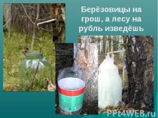 Берёзовицы на грош, а лесу на рубль изведёшь