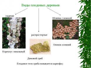 Виды плодовых деревьев Плодовое тело гриба называется карпофор