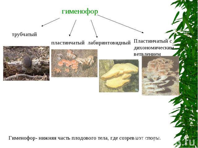 гименофорГименофор- нижняя часть плодового тела, где созревают споры.
