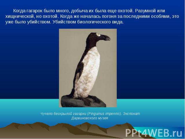 Когда гагарок было много, добыча их была еще охотой. Разумной или хищнической, но охотой. Когда же началась погоня за последними особями, это уже было убийством. Убийством биологического вида.Чучело бескрылой гагарки (Pinguinus impennis). Экспонат Д…