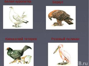 Белая куропатка БеркутКавказский тетеревРозовый пеликан