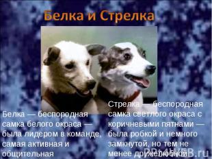 Белка и Стрелка Белка— беспородная самка белого окраса— была лидером в команде