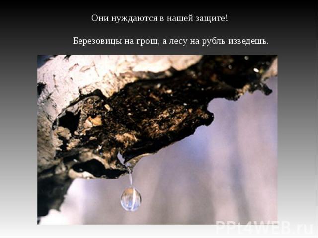 Они нуждаются в нашей защите! Березовицы на грош, а лесу на рубль изведешь.