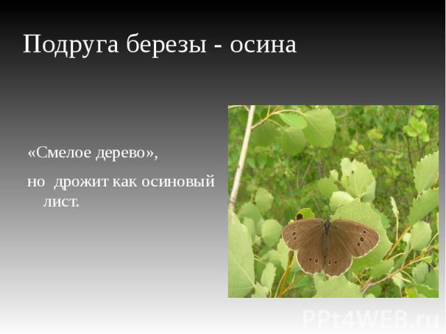 Подруга березы - осина «Смелое дерево»,но дрожит как осиновый лист.