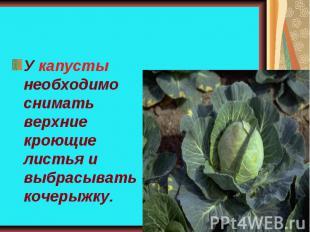 У капусты необходимо снимать верхние кроющие листья и выбрасывать кочерыжку.