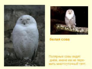 белая сова Полярные совы видят днём, иначе им не пере-жить многосуточный свет.