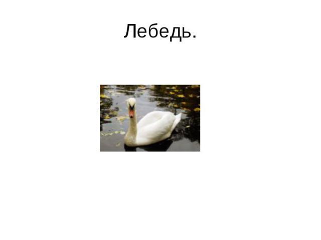 Лебедь.