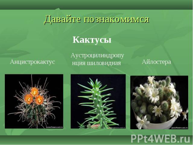 Давайте познакомимся Кактусы Анцистрокактус Аустроцилиндропунция шиловидная Айлостера