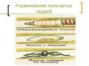 Размножение кольчатых червей