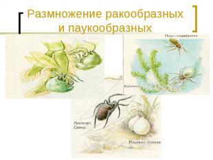 Размножение ракообразных и паукообразных