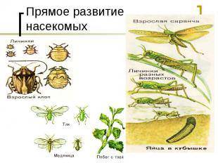 Прямое развитие насекомых