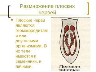 Размножение плоских червей Плоские черви являются гермафродитами или двуполыми о