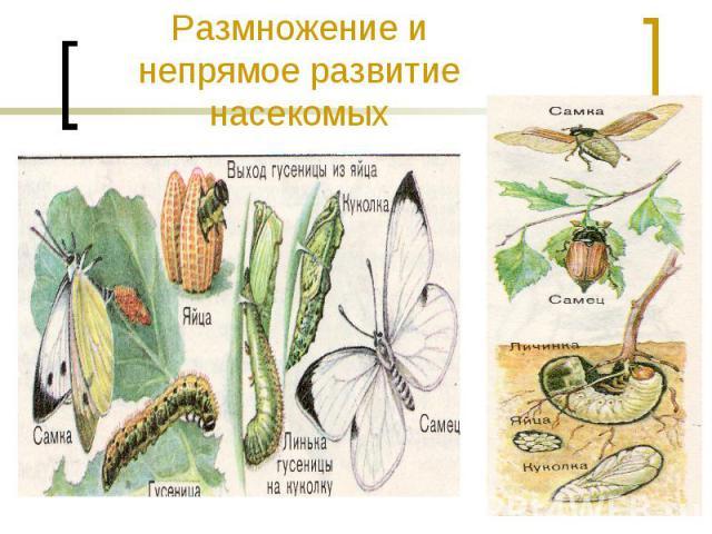 Размножение и непрямое развитие насекомых