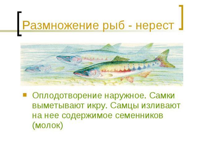 Размножение рыб - нерест Оплодотворение наружное. Самки выметывают икру. Самцы изливают на нее содержимое семенников (молок)