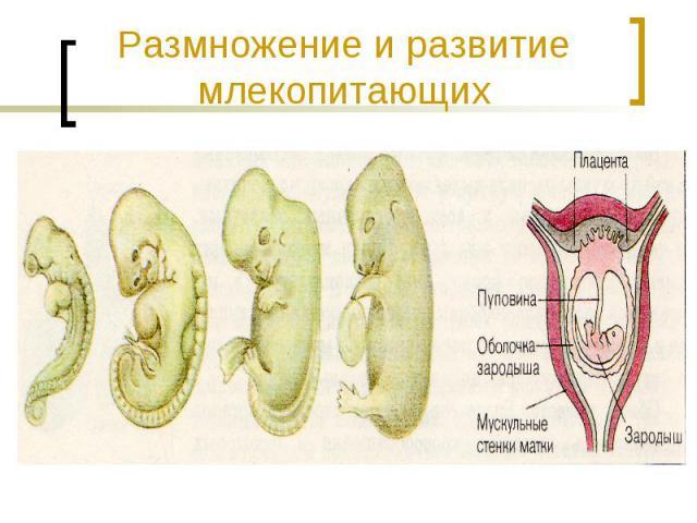 Размножение и развитие млекопитающих