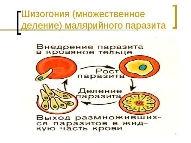 Шизогония (множественное деление) малярийного паразита