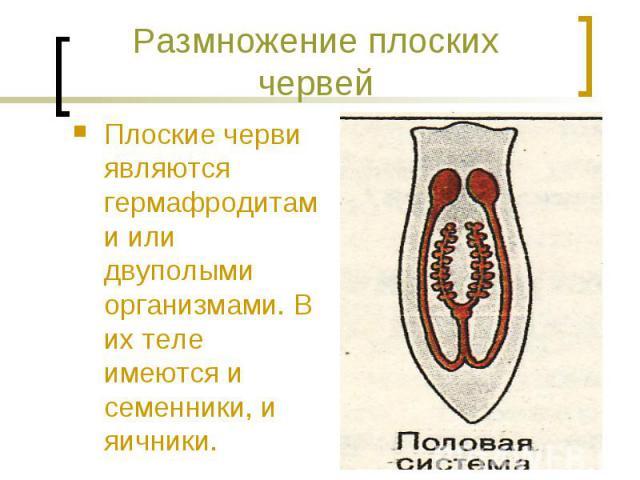 Размножение плоских червей Плоские черви являются гермафродитами или двуполыми организмами. В их теле имеются и семенники, и яичники.