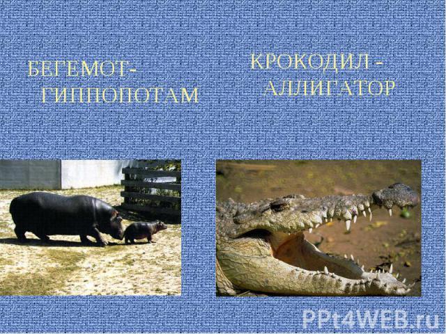 БЕГЕМОТ- ГИППОПОТАМ КРОКОДИЛ - АЛЛИГАТОР
