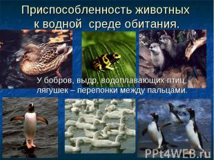 Приспособленность животных к водной среде обитания. У бобров, выдр, водоплавающи