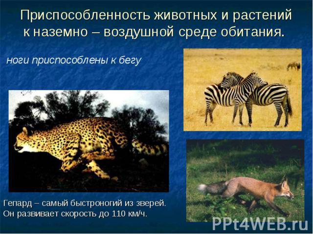 Приспособленность животных и растений к наземно – воздушной среде обитания. ноги приспособлены к бегу Гепард – самый быстроногий из зверей. Он развивает скорость до 110 км/ч.