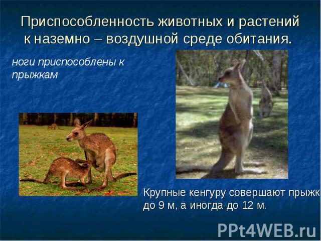 Приспособленность животных и растений к наземно – воздушной среде обитания. ноги приспособлены к прыжкам Крупные кенгуру совершают прыжки до 9 м, а иногда до 12 м.