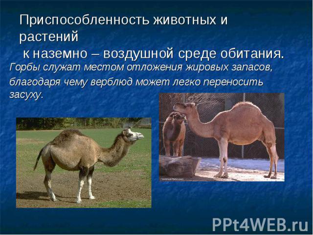 Приспособленность животных и растений к наземно – воздушной среде обитания.Горбы служат местом отложения жировых запасов,благодаря чему верблюд может легко переносить засуху.
