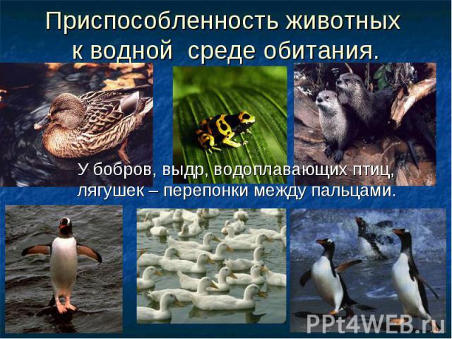 Приспособленность животных к водной среде обитания. У бобров, выдр, водоплавающих птиц, лягушек – перепонки между пальцами.