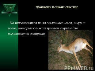 Тушканчик и сайгак: спасение На них охотятся из-за отличного мяса, шкур и рогов,
