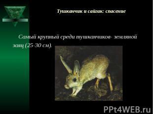 Тушканчик и сайгак: спасение Самый крупный среди тушканчиков- земляной заяц (25-