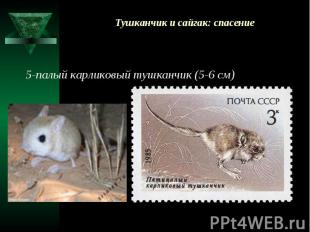 Тушканчик и сайгак: спасение 5-палый карликовый тушканчик (5-6 см)
