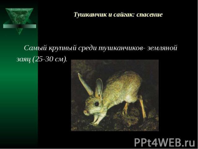 Тушканчик и сайгак: спасение Самый крупный среди тушканчиков- земляной заяц (25-30 см).