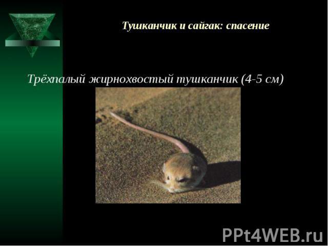 Тушканчик и сайгак: спасение Трёхпалый жирнохвостый тушканчик (4-5 см)