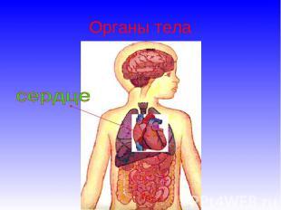 Органы тела сердце
