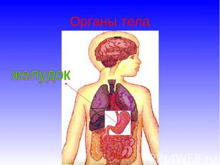 Органы тела желудок