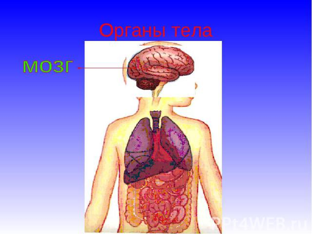 Органы тела мозг